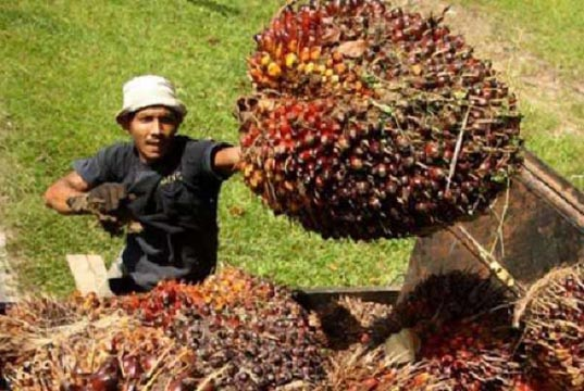 Harga TBS Kelapa Sawit di Riau Pekan Ini Naik Tipis