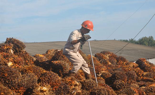 Harga Sawit Riau Periode 21-27 Maret 2018 Melorot Rp 16,71/Kg