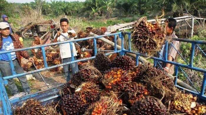 Harga TBS Sawit Riau Pekan Ini Kembali Turun, Sentuh Harga Rp 1.159,43 per Kg