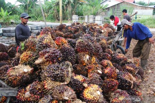 Naik Drastis, Harga TBS Sawit Riau Tembus Rp2.242 per Kg